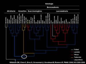 16. Phylogenetic Tree of Maternal-Fetal Placenta Interdigitation