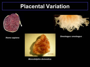 Placental variation among mammals.